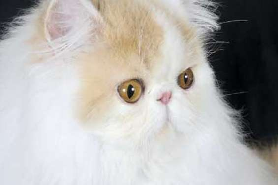 Le persan, un amour de chat