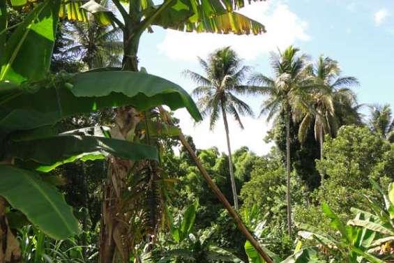 Drôles de bananiers à la tribu de Pothé