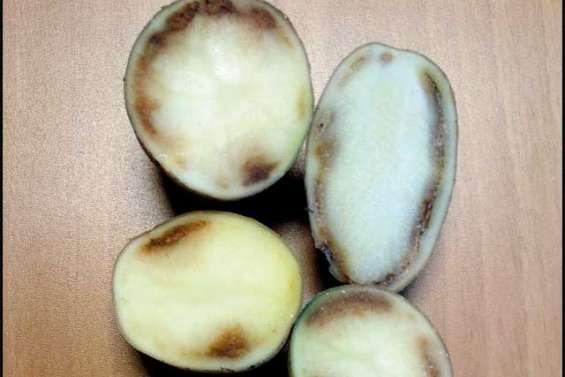 Alerte sur la pomme de terre