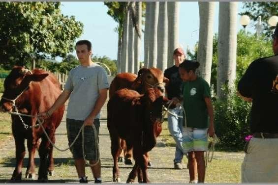 Des bovins  à l'école