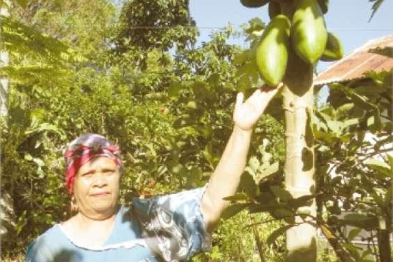 Un papayer hybride  et hermaphrodite