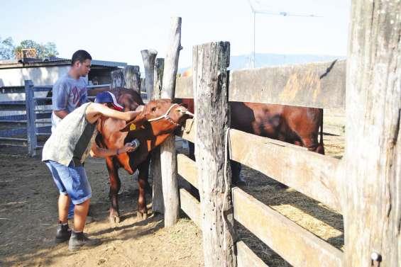 Les lycéens préparent du bétail à la présentation en foire