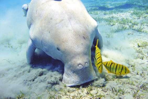 Les enjeux de la conservation du dugong exposés à l'IRD