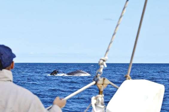 Les skippers préparent la saison des baleines