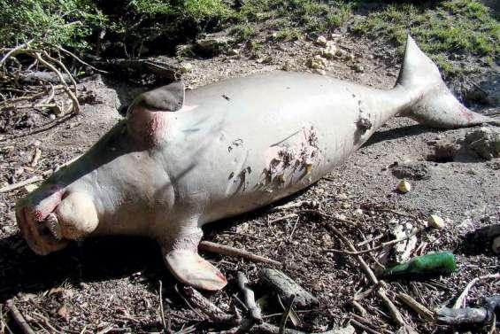 Un dugong tué par des braconniers