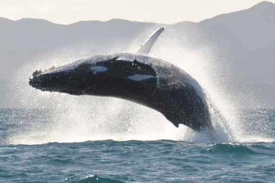 Les baleines au rendez-vous