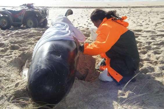 74 baleines échouées