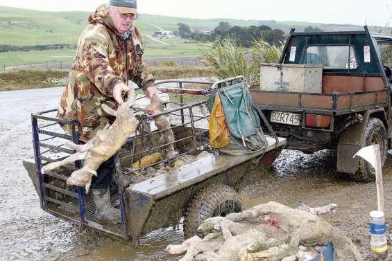 Il faut sauver les agneaux
