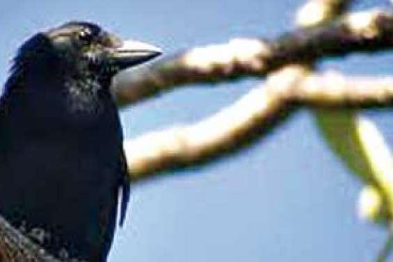 Des Kiwis toqués de notre corbeau