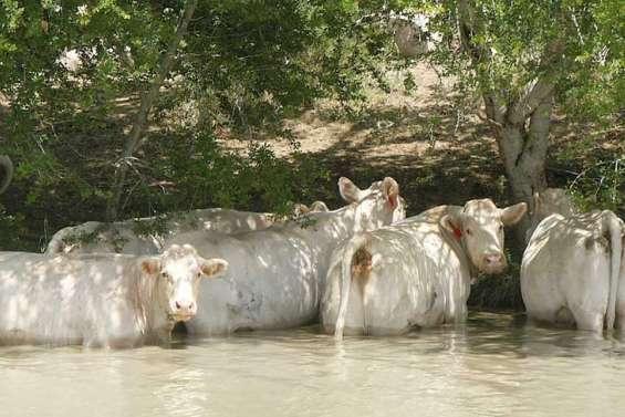 De nouvelles armes contre la tique du bétail