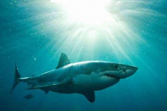 Les grands requins blancs sont là toute l'année