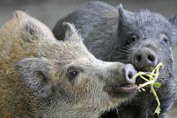 La traque aux cochons sauvages