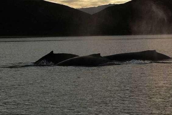 Trois baleines en escale à Tomo