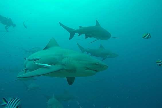 La pêche aux requins bouledogues est finie