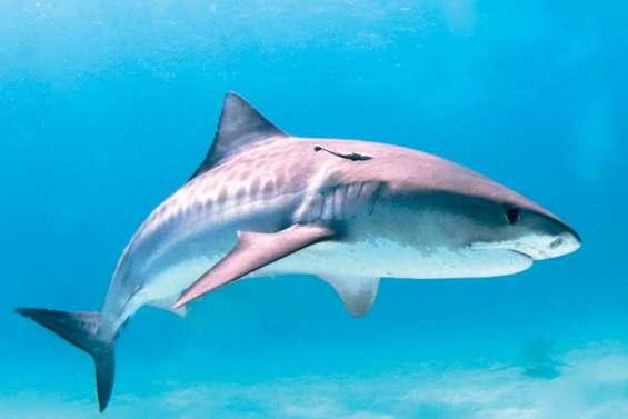 Moins d'attaques de requin dans le monde, mais...