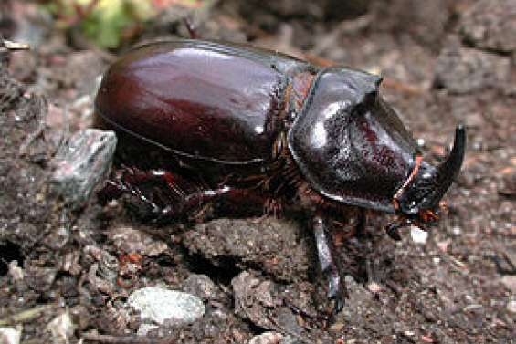 Appel à la vigilance après la découverte de scarabées rhinocéros