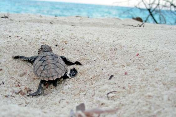 Des bébés tortues sur une plage de Saint-Aygulf