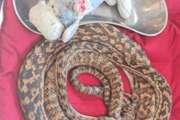 Australie : Le python qui aimait trop les peluches