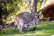 Deux ados australiens inculpés pour la mort de 14 kangourous