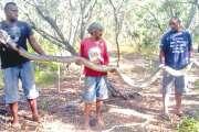 Un python de 4 mètres et 26 kilos découvert à Voh