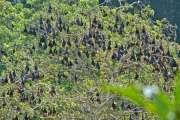 Une maladie grave, transmise par les roussettes, identifiée