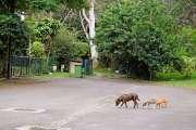 Changement de politique pour  les chiens du Mont-Dore