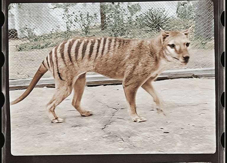 Le tigre de Tasmanie prend des couleurs